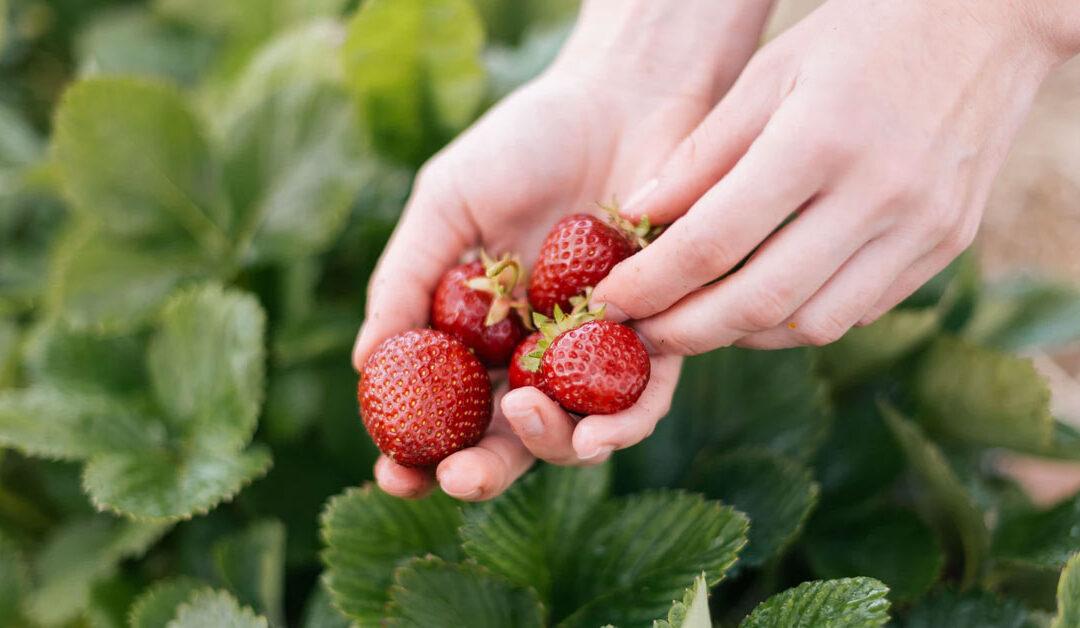 McLean's Strawberries